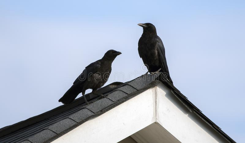 American Crow on rooftop, Clarke County GA USA. Two black crows perched on a roof peak. The American crow Corvus brachyrhynchos is a large passerine bird species stock photography