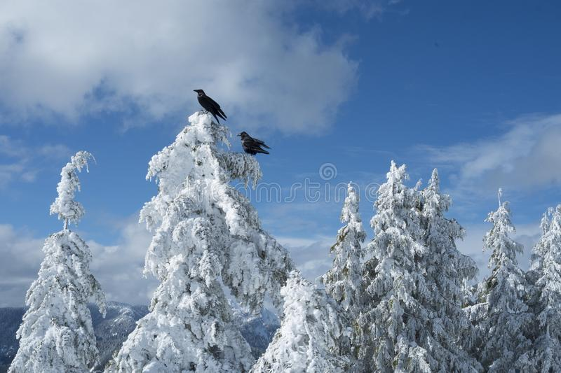 Two black crows or ravens on snow covered trees in winter scene on top of Dog Mountain on Mount Seymour. Two black ravens or crows on trees covered with deep stock images