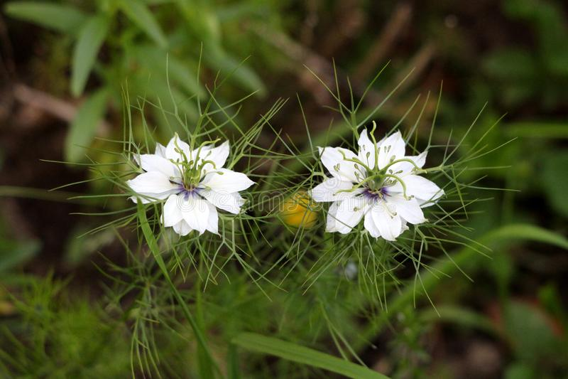 Two Black cumin or Nigella sativa annual flowering plants with unusual delicate white flowers surrounded with pointy light green. Two Black cumin or Nigella stock photography