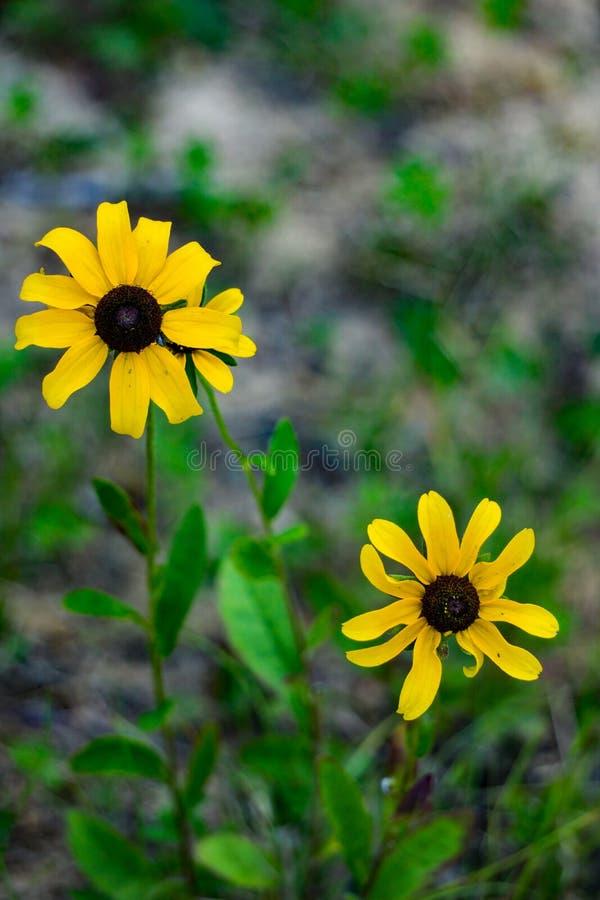 Two Black-eyed Susan – Rudbeckia hirta stock image