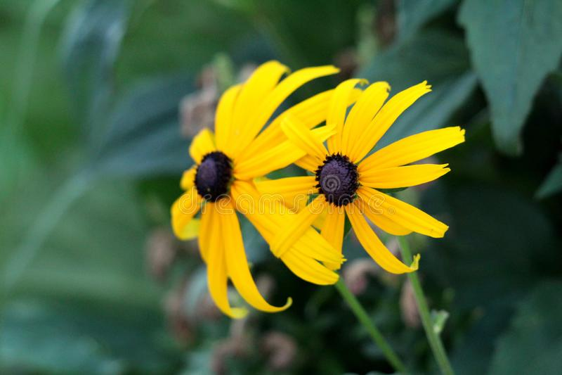 Two Black-eyed Susan or Rudbeckia hirta annual flowering plant bright yellow fully open blooming flowers with black center planted. Two Black-eyed Susan or stock photo