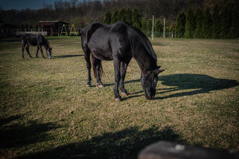 Two black horse on green field in a sun stock photos