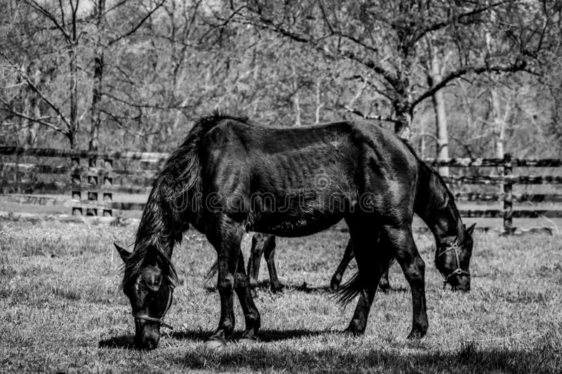 Two Black Horses Eating in Pasture stock photos