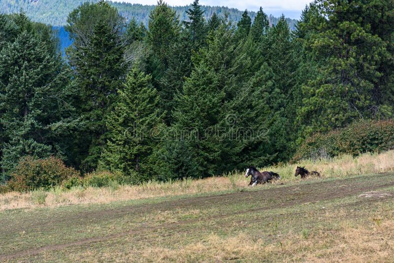 Two black horses running out from behind a hill, pasture bordered by forest, Eastern Washington State, USA stock photography