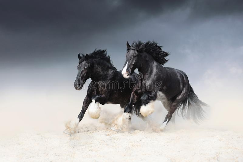Two black horses of the Shail rock race along the sand against the sky. stock photos