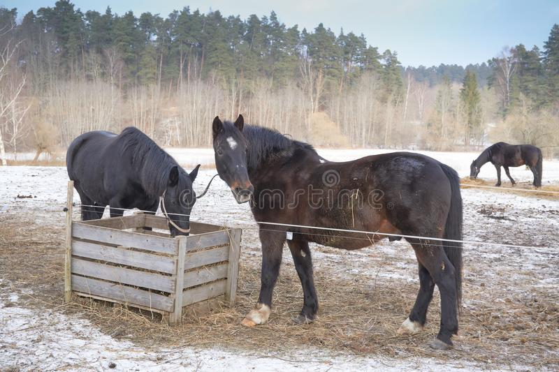 Two black horses in the snow stock images