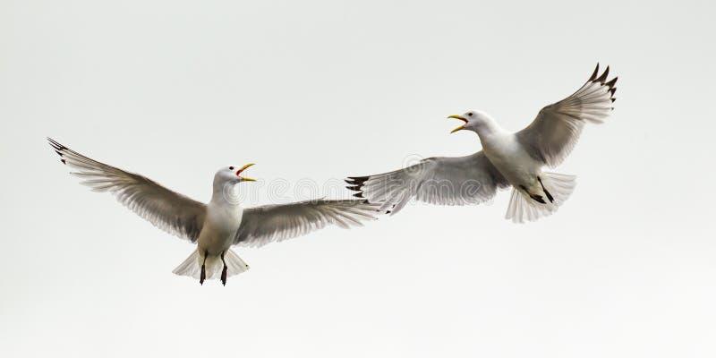 Kittiwake Skirmish. Two Black-Legged Kittiwakes Confronting Each Other In Flight, Ekkeroy Nature Reserve, Varanger, Norway stock image