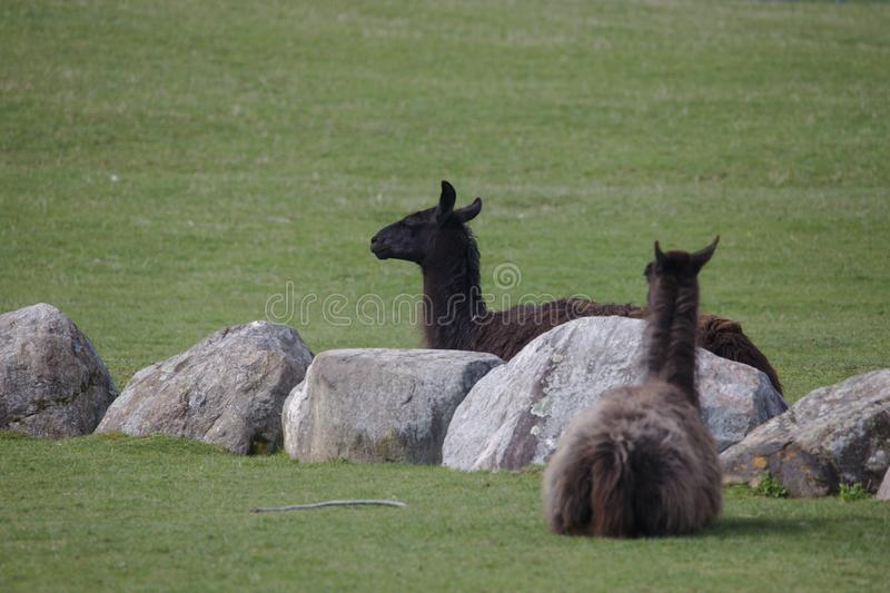 Two black llamas lying on a field royalty free stock photos