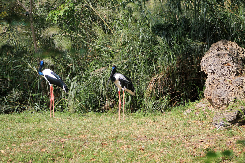 Two Black-necked storks (Ephippiorhynchus asiaticus). Black-necked storks (Ephippiorhynchus asiaticus) standing on in profile against green leafy background royalty free stock photos