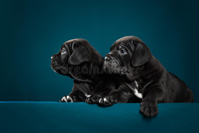 Two black puppy of breed cane Corso. In studio royalty free stock image