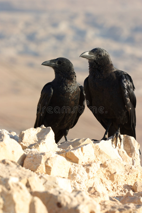Free Two Black Ravens Stock Photography - 621822
