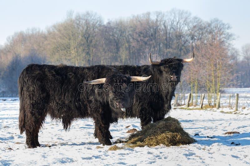 Two black scottish highlanders in winter snow. Two black scottish highlanders in winterly snow landscape stock image