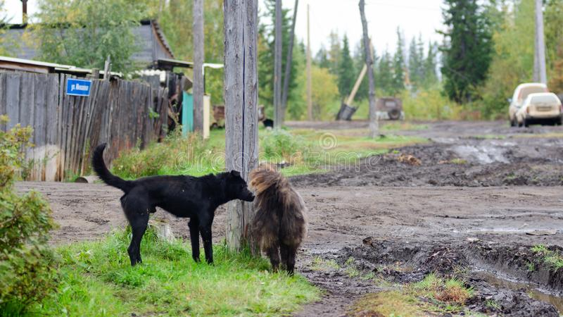 Two black shaggy dog roam the yard on a dirt street in a Northern village. Two black shaggy dog roam the yard on a dirt street in a Northern village in Yakutia stock images