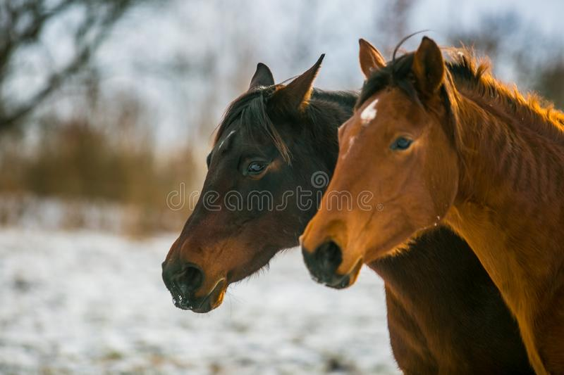 Two black and sorrel horses standing in a pasture stock photo