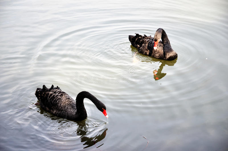 Download Two black swans stock image. Image of stately, black - 13342061