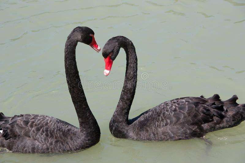 Two black swans stock photography