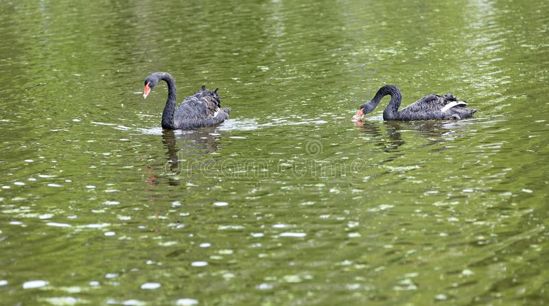 Two black swans float in the lake. Beautiful wildlife concept. stock photo