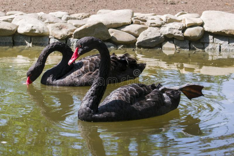 Two black swans float in the lake. Love couple of black swans. stock photos