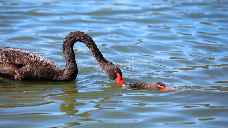 Two black swans in the lake stock photo