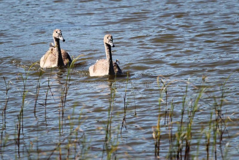 Two black swans on the lake.  stock photos