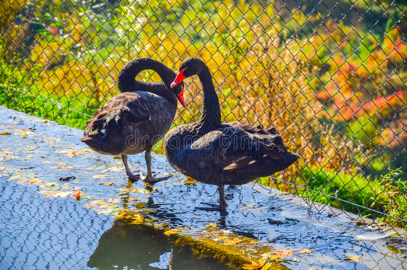 Two black swans are near water royalty free stock photography