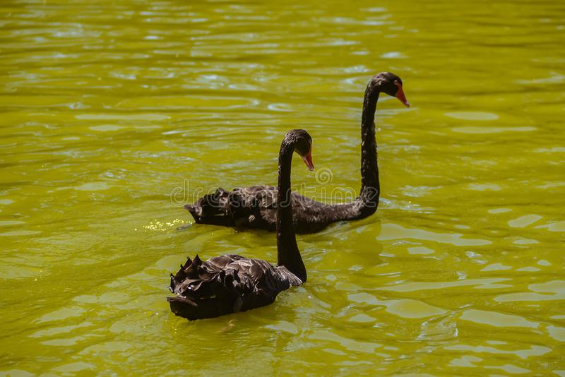 Two black swans swim in a river, Australia, Adelaide stock photography