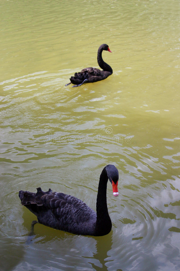 Two black swans swimming stock image