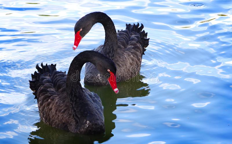 Two black swans. royalty free stock photography