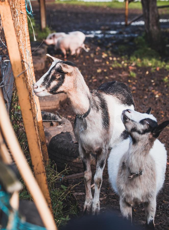Two black and white domestic alpine goats on a walk in the backyard in October royalty free stock photo