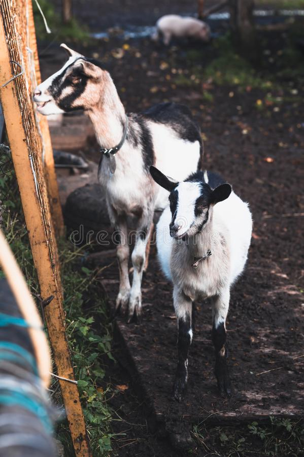 Two black and white alpine goats on a walk in the backyard in October royalty free stock photography