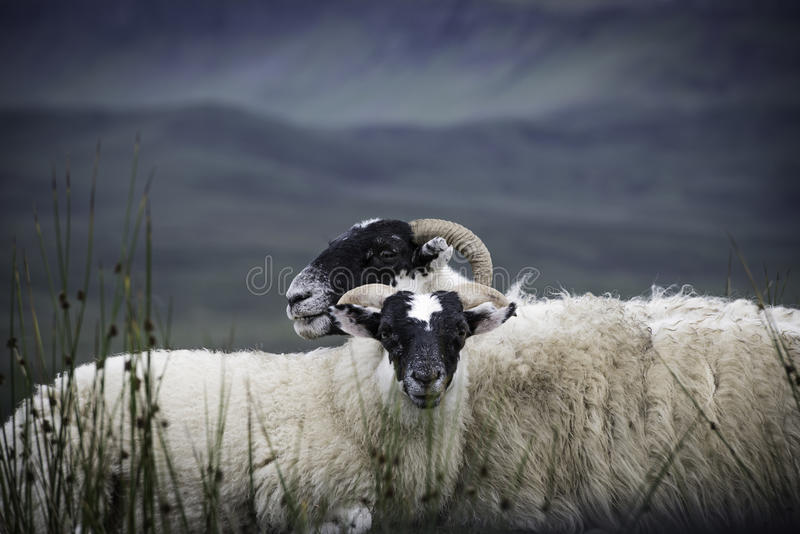 Two blackface sheep stock photography