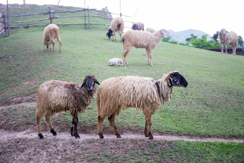 Two blacknose sheeps on green grass field and sheeps background royalty free stock photos