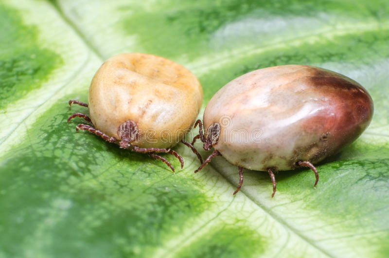 Two blood-filled mites crawl along the green leaf stock photography