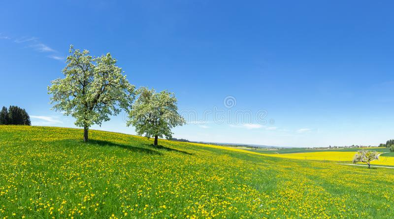 Two blooming fruit trees on a hilly flower meadow royalty free stock photos