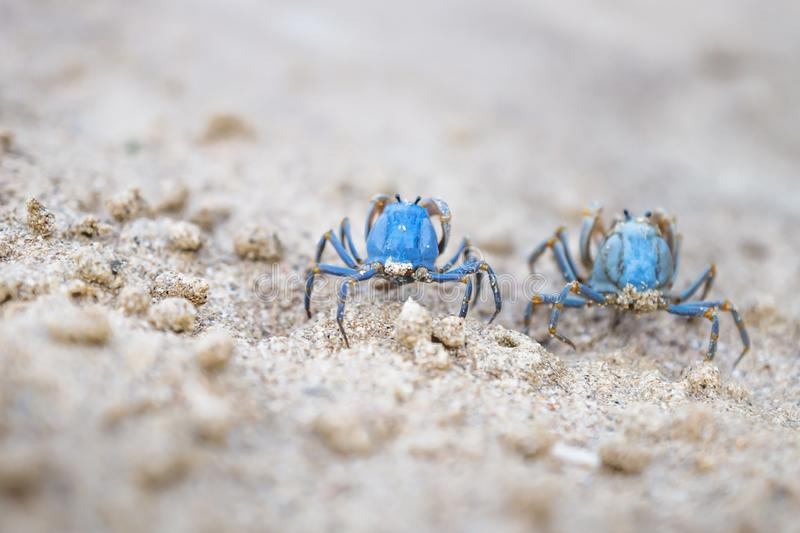 Two Blue crabs on the white beach of Siquijor, Philippines, Asia stock photo