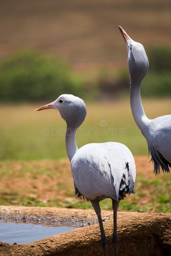 Two blue cranes Grus paradisea Drinking at Waterhole, South Africa. Kruger royalty free stock photography