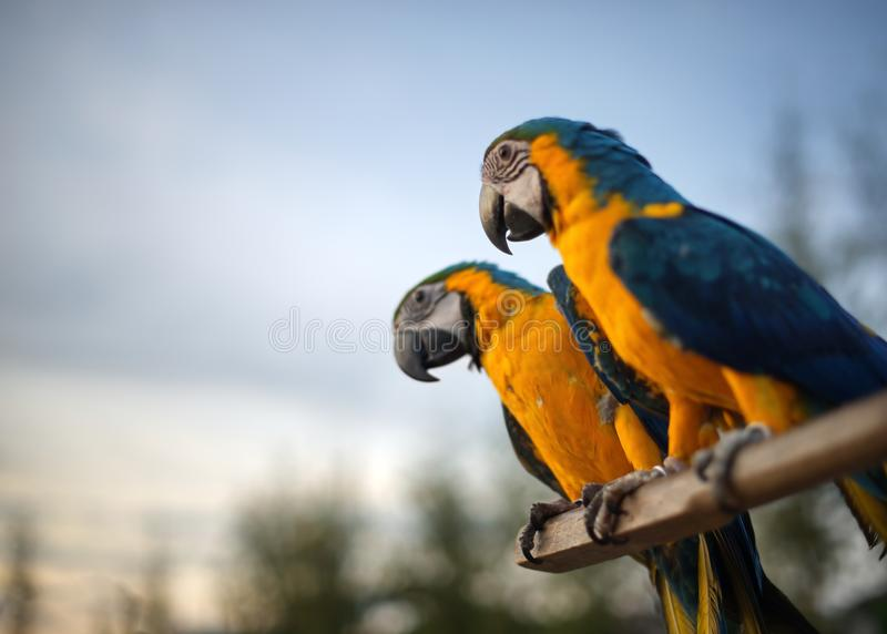 Two blue and gold macaw on blue sky : Close up. Two blue and gold macaw on blue sky background : Close up stock photos