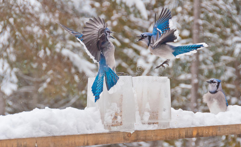 Two blue jays (disambiguation) fighting over ice feeders. Two blue jays fighting over ice feeders with another blue jay looking on