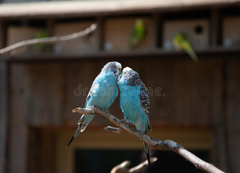 Two blue parrots in love sit on a branch and kiss royalty free stock photos