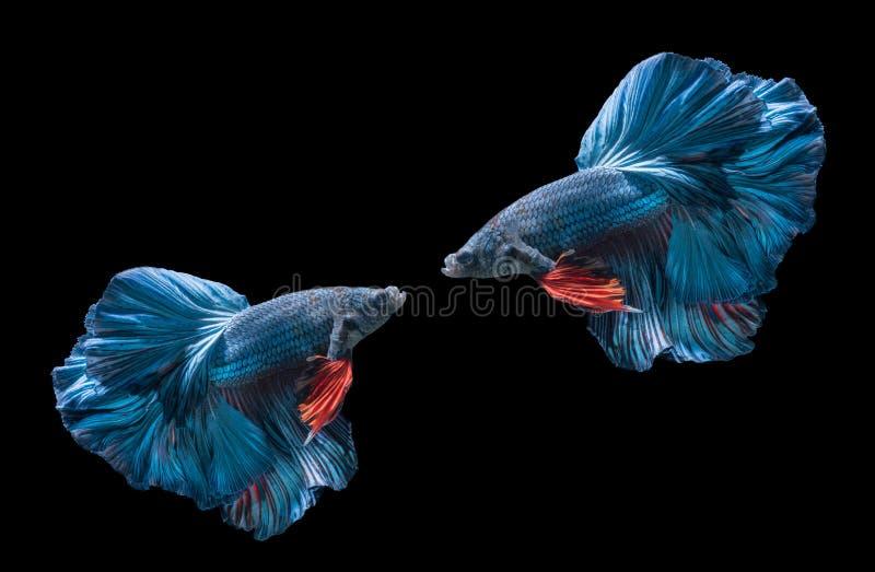 Two blue siamese fighting fishs, betta splendens stock photos