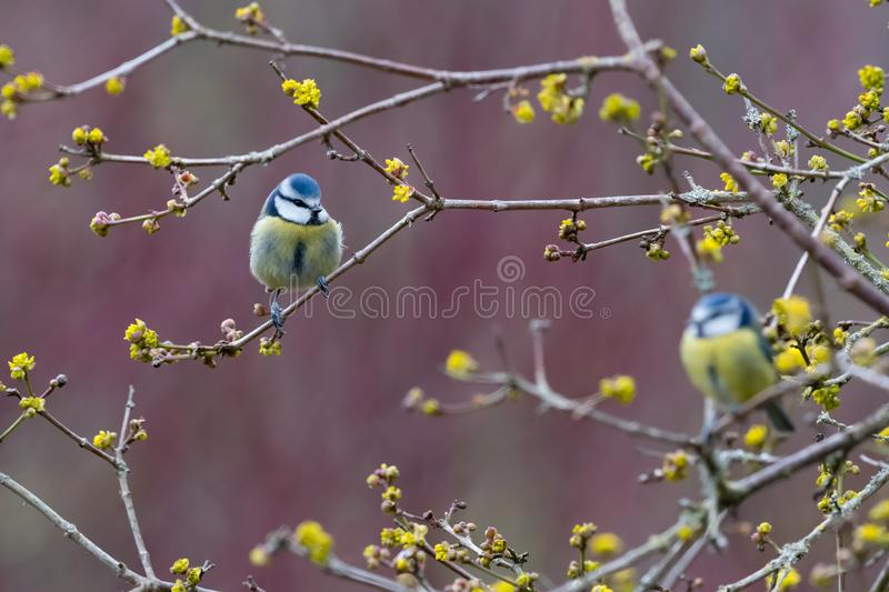 Two blue tits royalty free stock images