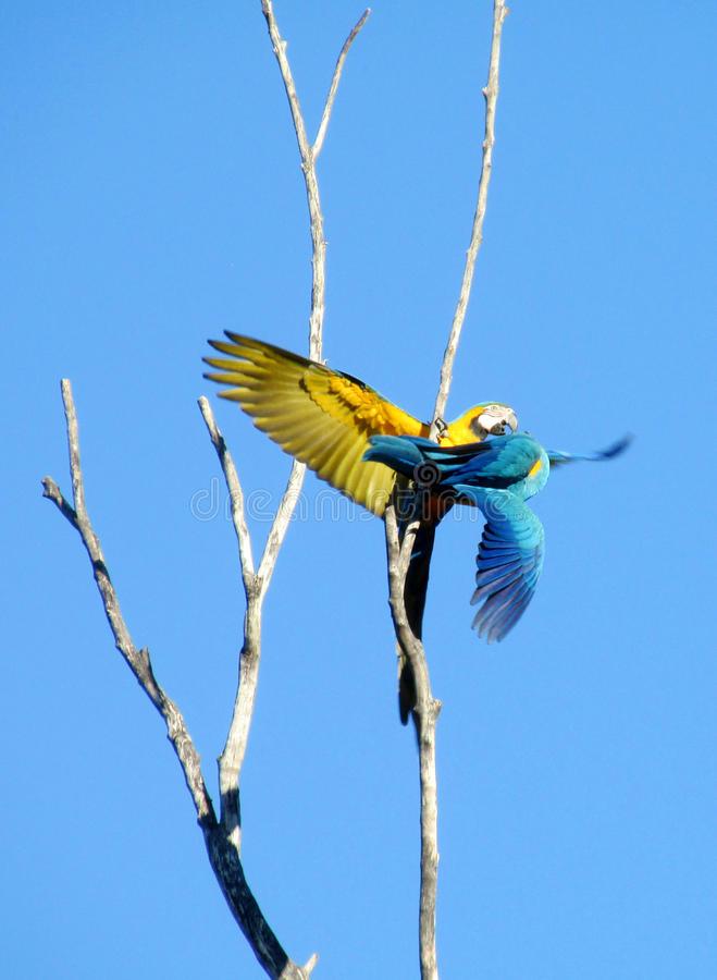 Two blue and yellow ara parrots. Two blue and yellow feather ara parrot. Ara parrot on a tree branch, in tropics. Arara birds flying stock photo