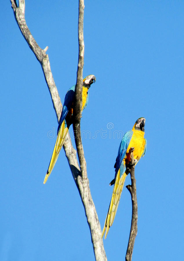 Two blue and yellow ara parrots. Two blue and yellow feather ara parrot. Ara parrot on a tree branch, in tropics. Arara birds flying royalty free stock image
