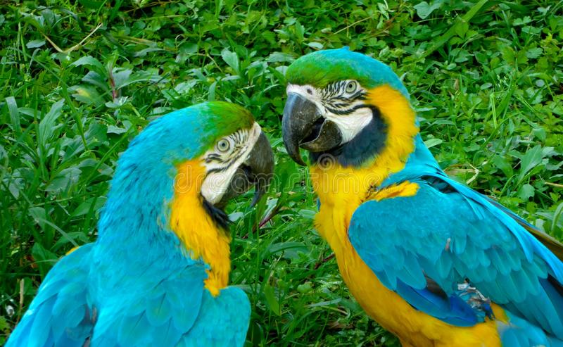 Two Blue-and-Yellow Macaw royalty free stock photo
