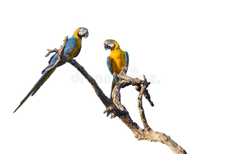 Two Blue and yellow macaws isolated on white. Two Blue and yellow macaws, Ara ararauna, on tree, isolated on white background stock images