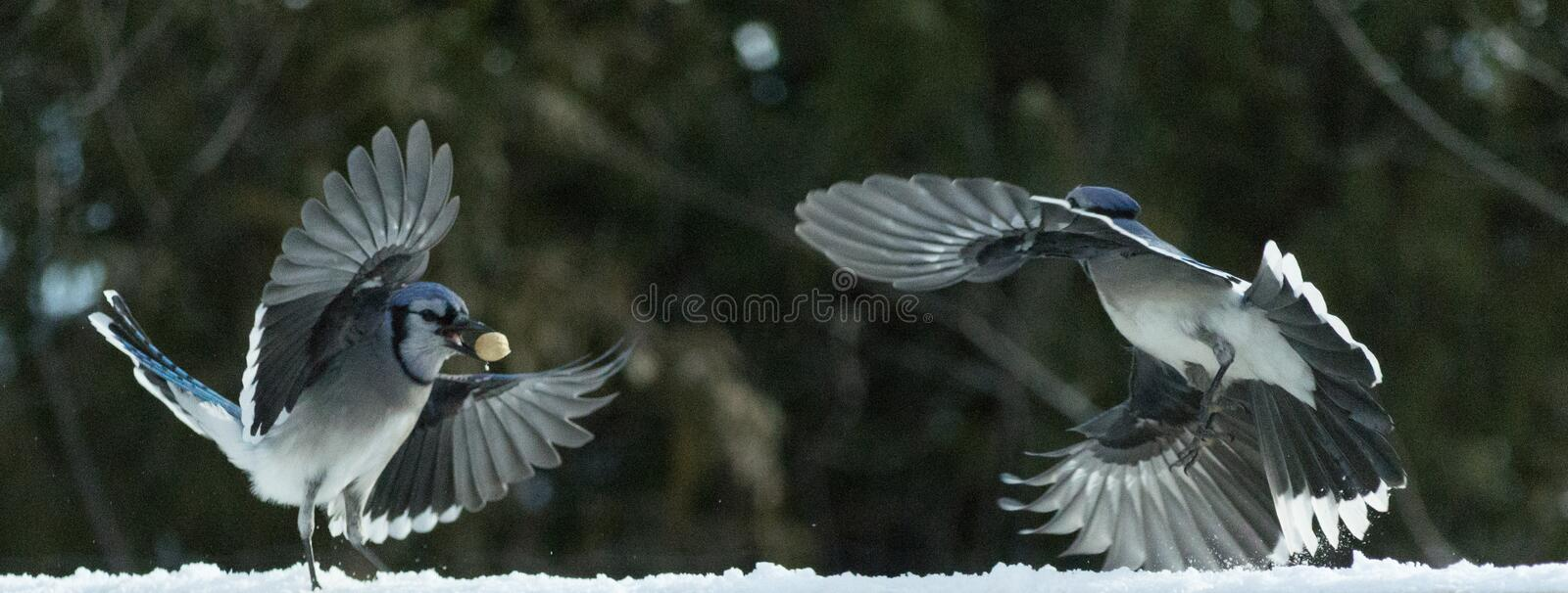 Two bluejays flying in the snow royalty free stock photography