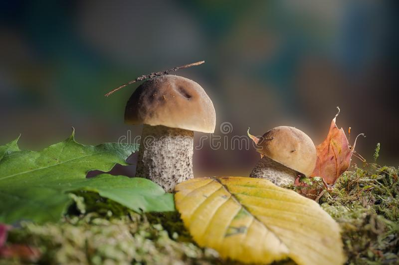 Two Boletus or Cep mushrooms in an autumn forest royalty free stock images