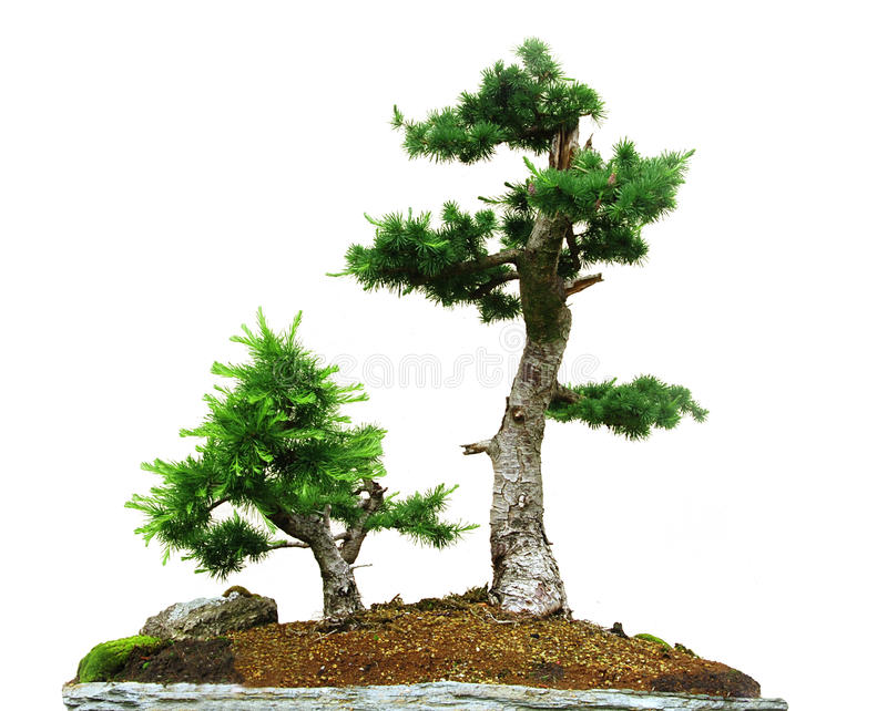 Two bonsai stock images