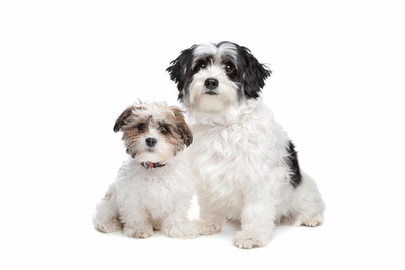 Two boomer dogs. In front of a white background stock photography