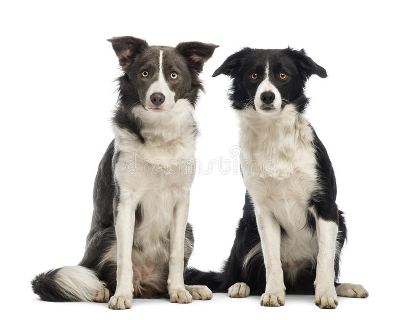 Two border Collies, 8 months old, sitting and looking at the camera. In front of white background stock photos